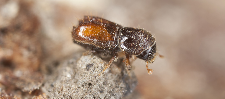 Ambrosia beetle tree borer infestation