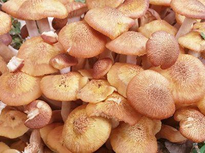 Armillaria fungi produces honey mushrooms and causes root rot