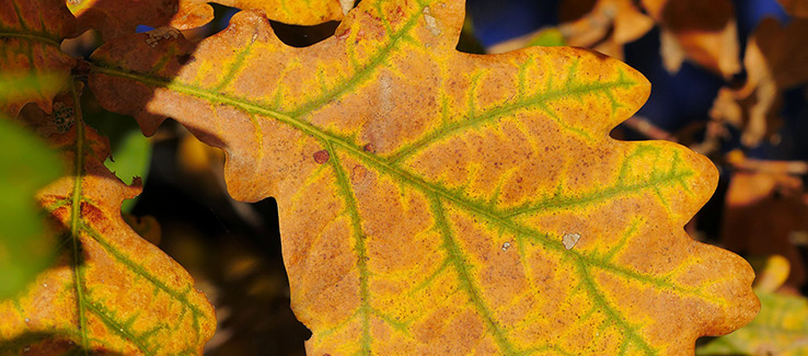 bacterial leaf scorch is one of many oak tree quercus diseases