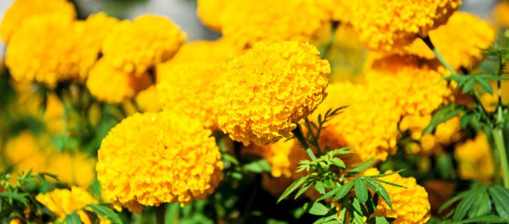 Calendula marigold plant blooming in fall yard