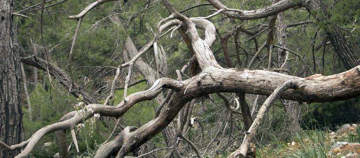 Signs of a dying tree can include dead branches in the canopy