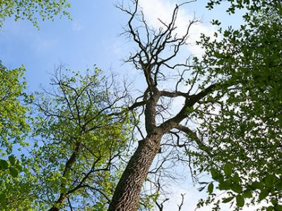 Dying oak tree symptoms include failure to leaf out in spring