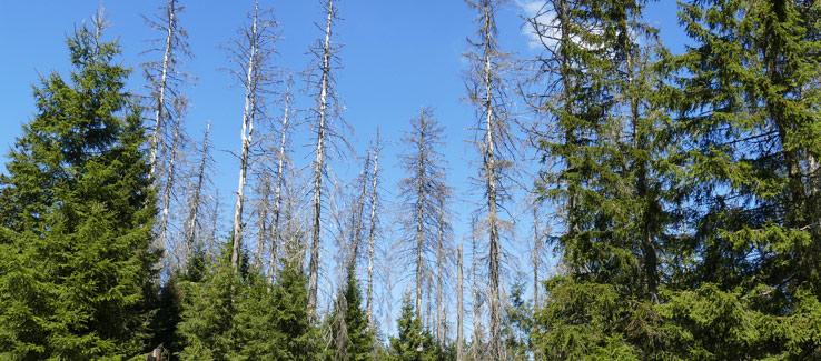 Tree dieback ambrosia beetle infestation