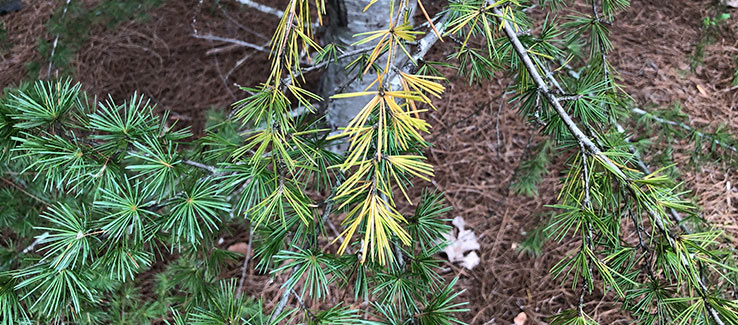Evergreen tree disease with diplodia blight causing chlorosis of foliage