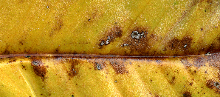 Fungal leaf spot infections can lead to multiple secondary infections and infestations