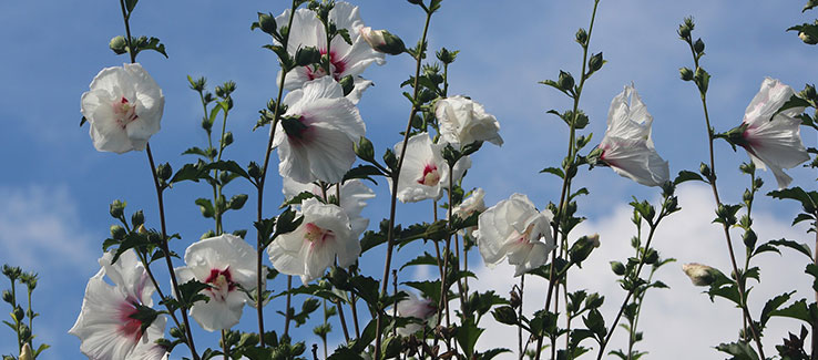 Hardy giant hibiscus growing as privacy screen with white blooms