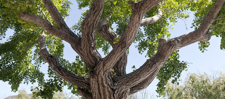 Gingko tree in Atlanta fall yard