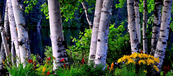 Healing medicinal birch tree for backyard landscape
