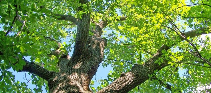 Medicinal oak tree for backyard landscape