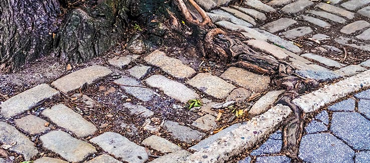 Invasive tree species with roots breaking through sidewalk and road