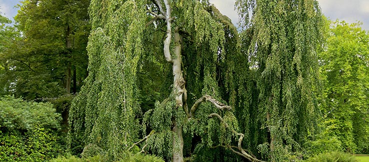 Invasive willow tree species