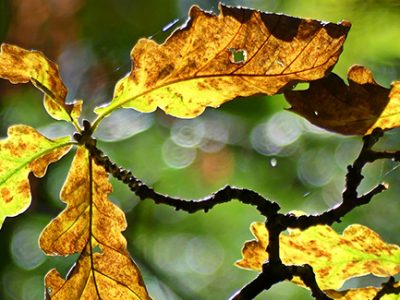 Leaf spot infections can lead to multiple tree debilitating secondary infections and infestations