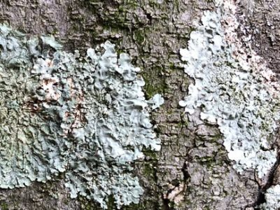 Lichens attached and growing on the bark of a tree