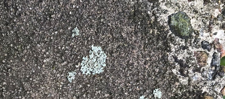 Lichens attached and growing of a concrete wall