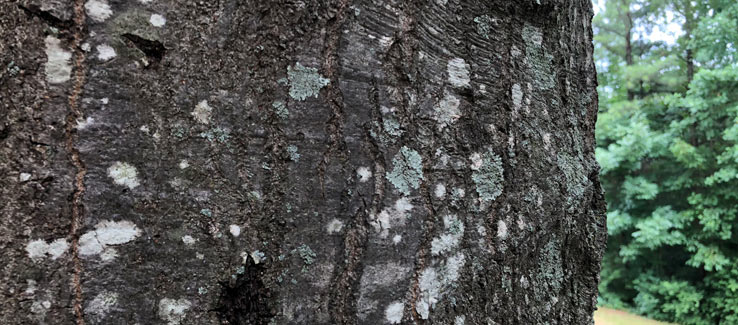 Lichen growth on the bark of a tree trunk