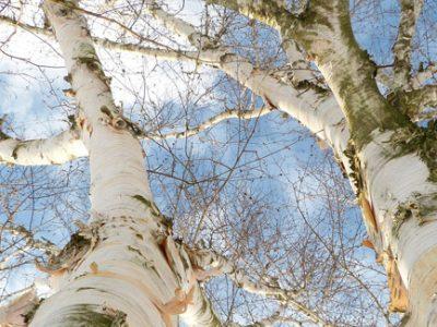 Medicinal birch tree for backyard landscape
