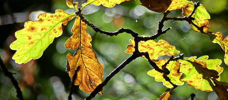Quercus oak leaf spot