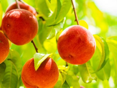 Peaches on a fruit bearing tree during the growing season