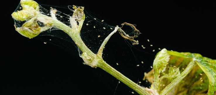 Spider mite on untreated plant branch