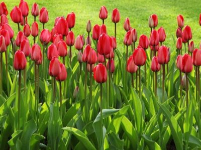 Healthy summer garden with tulips