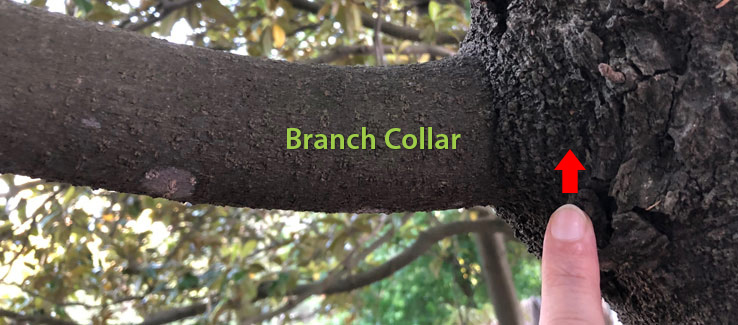 Do not cut into the branch collar for tree compartmentalization to occur