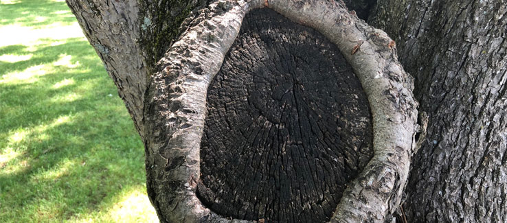 Tree compartmentalization branch pruning after 10 years