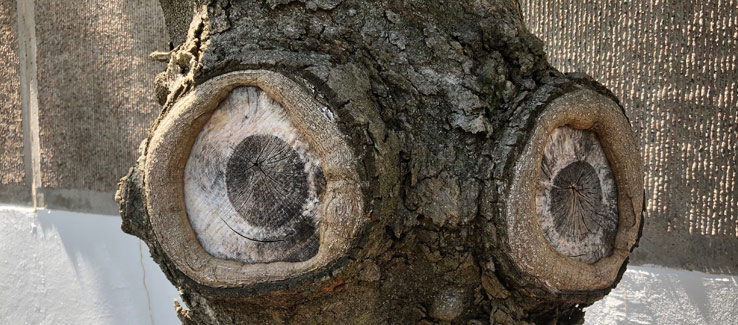 Tree compartmentalization branch pruning wound 5 years after the cut