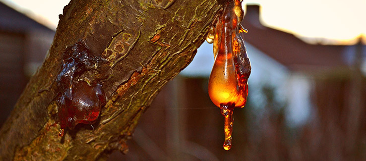 Tree infected with bacterial wetwood leaking sap