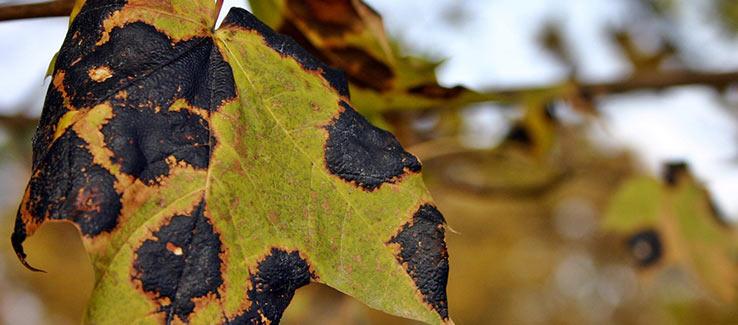 Tree leaves turning black from disease