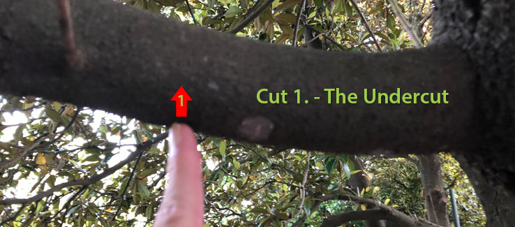 Tree pruning the undercut is cut number 1