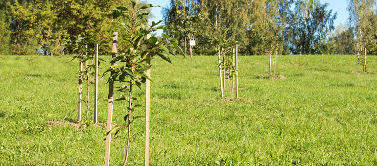 Staking young trees in backyard