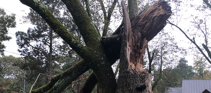 Tree severely damaged after weather event.