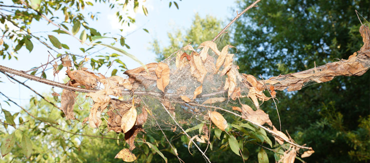 Tree insect infestation with web wrapped around leaves and branch