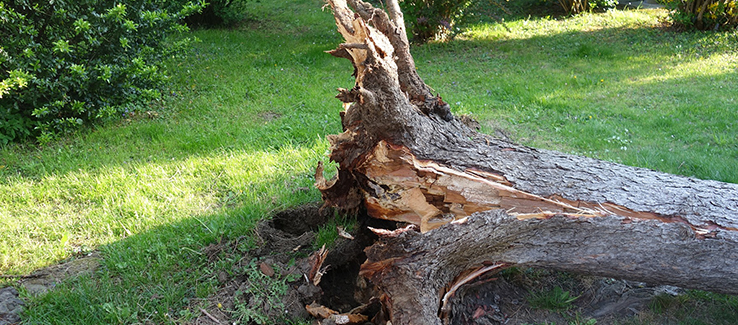 Armillaria damages root systems until they cannot secure the tree in place resulting in windthrow