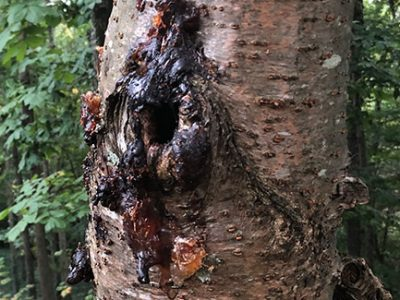 Wounded tree infected with bacterial wetwood leaking sap